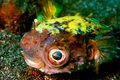 Yellowspotted burrfish Stock Photos