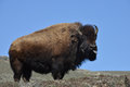 Yellowstone bison old in national park Royalty Free Stock Photography