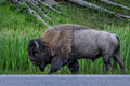 Yellowstone bison a in walking down the side of the road Royalty Free Stock Photo