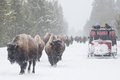 Yellowstone bison in the winter roads Royalty Free Stock Photo