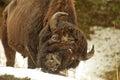 Yellowstone Buffalo Royalty Free Stock Photo