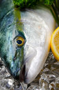 Yellowtail Obraz Royalty Free