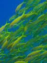 Yellowtail  fish on Great Barrier Reef Australia Stock Image