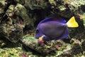 Yellowtail tang Royalty Free Stock Photo