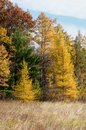 Yellow Tamaracks in the Fall Royalty Free Stock Photo