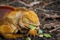 Yelloy orange iguana feeding on vegetables Royalty Free Stock Images