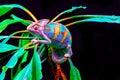 Yemen chameleon isolated on black background Royalty Free Stock Photo
