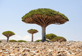 Yemen socotra island dragon tree trees dracaena cinnabari Stock Photos