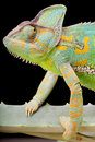 Yemen Veiled Chameleon Royalty Free Stock Photo