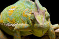 Yemen/Veiled Chameleon Royalty Free Stock Photo