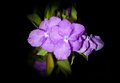 Yesterday today and tomorrow flower the or brunfelsia americana l Royalty Free Stock Photos