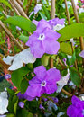 Yesterday today and tomorrow flowers or brunfelsia uniflora poh close up shot of pohl d don solanaceae Stock Photography