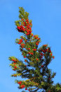 Yew branch with berries yes red in autumn against blue sky Royalty Free Stock Images