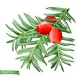 Yew branch, christmas decoration. Taxus tree 3d realistic vector icon
