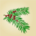 Yew branches with red berries vector