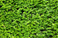 Yew bush close up background Stock Photos