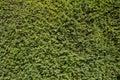Yew Tree Hedge Royalty Free Stock Photo