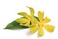 Ylang ylang flower on white background Royalty Free Stock Image