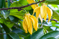 Ylang-Ylang Flowers Royalty Free Stock Photography