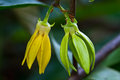Ylang-Ylang Flowers Royalty Free Stock Photos