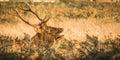 Yodelling Elk Royalty Free Stock Photo