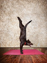 Yoga dog doing handstand pose on red mat in hall Stock Photography