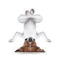 Yoga dog Royalty Free Stock Photo