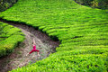 Yoga warrior pose in tea plantations Royalty Free Stock Photos