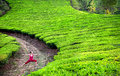 Yoga warrior pose in tea plantations Royalty Free Stock Photo