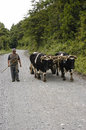 Yoke of oxen peasant carrying an along a country road in the region the araucania chile Stock Photography