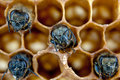 Yong bees inside honeycomb close up Royalty Free Stock Images