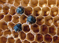 Yong bees inside honeycomb close up Stock Images