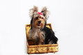 York pretty small dog pet Royalty Free Stock Image