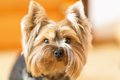 York Terrier looks closely at his master. Yorkshire terrier, puppy, young dog, close up. Royalty Free Stock Photo