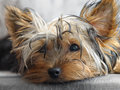 Yorkie Royalty Free Stock Photography
