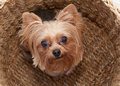 Yorkie in a basket dog looking up at the camera Stock Images