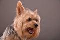 Yorkie dog portrait Royalty Free Stock Photo