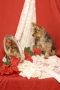 Yorkie and Mirror Image Royalty Free Stock Images
