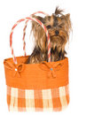 Yorkie pup sitting inside brown handbag Royalty Free Stock Image
