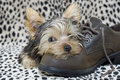 Yorkie Puppy lying on Shoe Stock Images