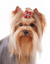 Yorkie puppy portrait Royalty Free Stock Photo