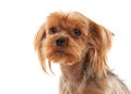 Yorkie puppy on white gradient background young Stock Image