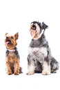 Yorkie and schnauzer looking at blank copyspace adorable alert sitting up attentively white above their heads isolated on white Royalty Free Stock Photo