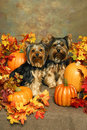 Yorkies and Pumpkins Stock Images