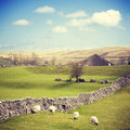 Yorkshire dales with dry stone wall english in early spring a and four sheep in a row Royalty Free Stock Photo