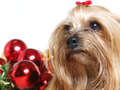 Yorkshire dog close up with christmas balls Stock Photography