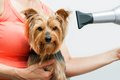 Yorkshire getting blow dried female hands with hair dryer drying Royalty Free Stock Images