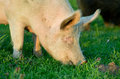 Yorkshire pig close up of big white grazing fresh spring grass Stock Photos