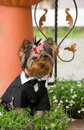 Yorkshire terrier Royalty Free Stock Images