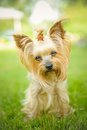 Yorkshire Terrier Stock Image